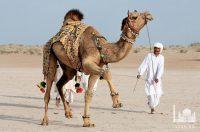 Ежегодный фестиваль верблюдов проходящий в Исламабаде, Пакистан