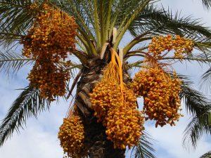 Финиковая пальма упоминания в хадисе