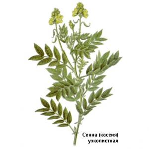 Сенна, кассия, листья сенны фото