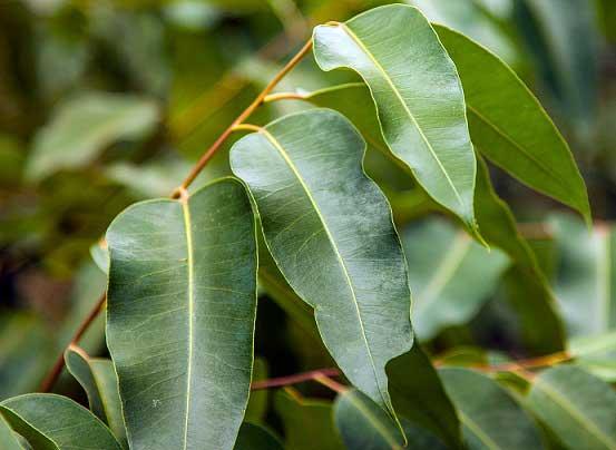 Листья камфоры